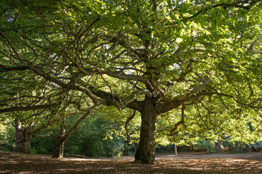 Mycenae Gardens Plane Tree